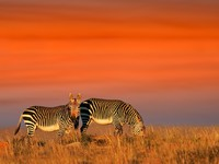 Cape Mountain Zebras. Фото EcoPic Depositphotos