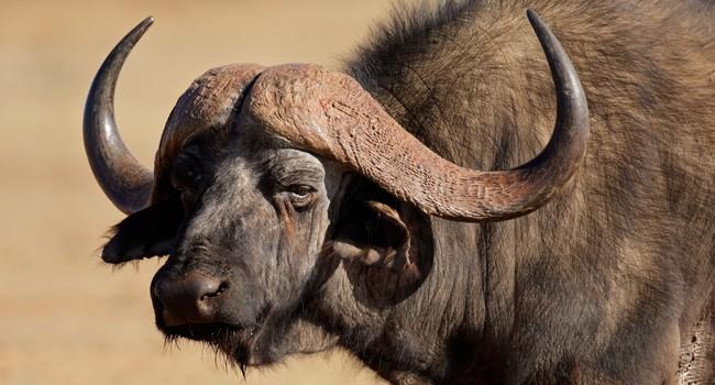 Блог Павла Аксенова. Африканский буйвол (лат. Syncerus caffer, англ. African buffalo). Фото EcoPic - Depositphotos