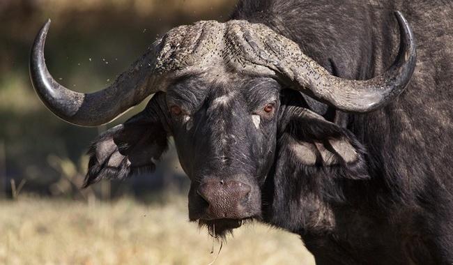 Блог Павла Аксенова. Африканский буйвол. Buffalo - Okavango Delta - Botswana. Фото Steve Allen - Depositphotos