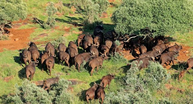 Блог Павла Аксенова. Африканский буйвол. Фото EcoPic - Depositphotos