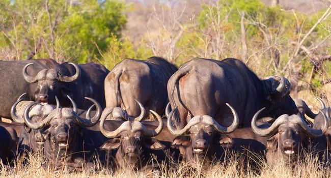Блог Павла Аксенова. Африканский буйвол. Фото hedrus - Depositphotos