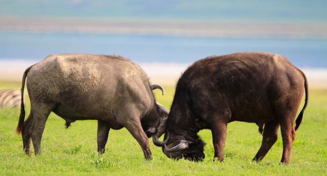 Блог Павла Аксенова. Африканский буйвол. Buffalos in Ngorongoro conservation area. Фото Shalamov - Depositphotos