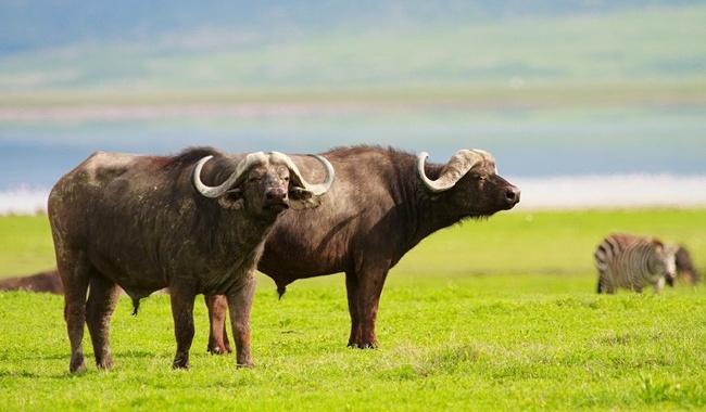 Блог Павла Аксенова. Африканский буйвол. Buffalos. Фото shalamov - Depositphotos