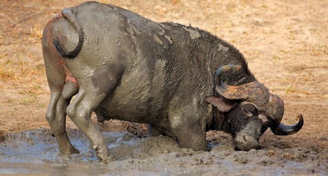 Африканский буйвол. Фото EcoPic - Depositphotos