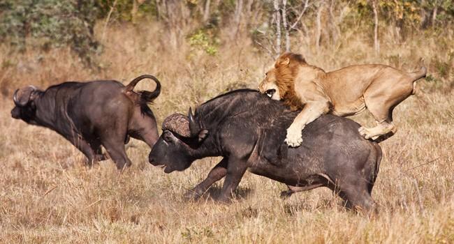 Блог Павла Аксенова. Африканский буйвол. Фото AOosthuizen - Depositphotos
