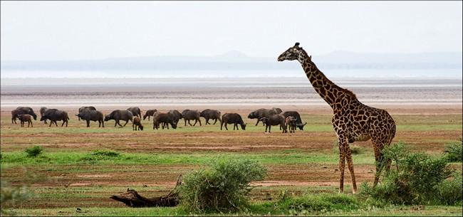 Блог Павла Аксенова. Африканскиt буйволы. Фото SURZet - Depositphotos