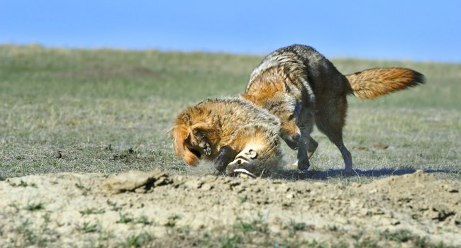 Блог Павла Аксенова. Барсук (лат. Meles meles). Coyote And Badger Fight Over Prey. Фото DesignPicsInc - Depositphotos