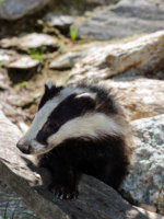 Блог Павла Аксенова. Барсук (лат. Meles meles). Badger. Фото Photoerick - Depositphotos