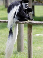 Блог Павла Аксенова. Колобусы (лат. Colobus). Фото phil_bird - Depositphotos