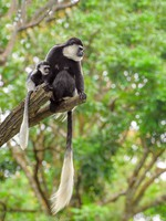 Блог Павла Аксенова. Колобусы (лат. Colobus). Фото photomaru - Depositphotos