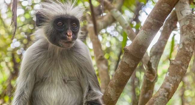 a study of colobus monkey Start studying monkey learn vocabulary, terms, and more with flashcards, games, and other study tools.