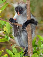 Блог Павла Аксенова. Колобусы (лат. Colobus). Фото EcoPic - Depositphotos