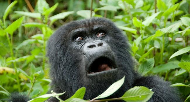 Блог Павла Аксенова. В мире животных. Горилла. Фото naticastillog - Depositphotos