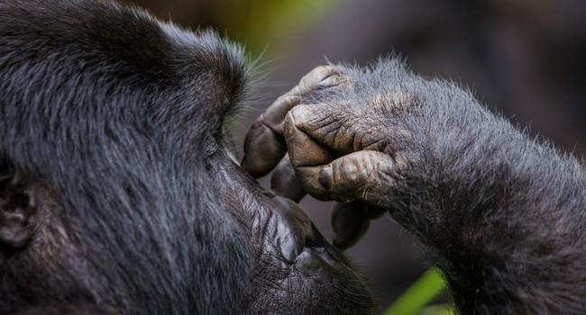 Блог Павла Аксенова. В мире животных. Горилла. Фото GUDKOVANDREY - Depositphotos