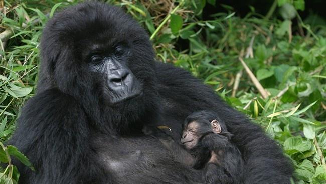 Блог Павла Аксенова. В мире животных. Горилла. Фото erwinf - Depositphotos