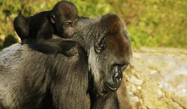 Блог Павла Аксенова. В мире животных. Горилла. Фото petestock - Depositphotos