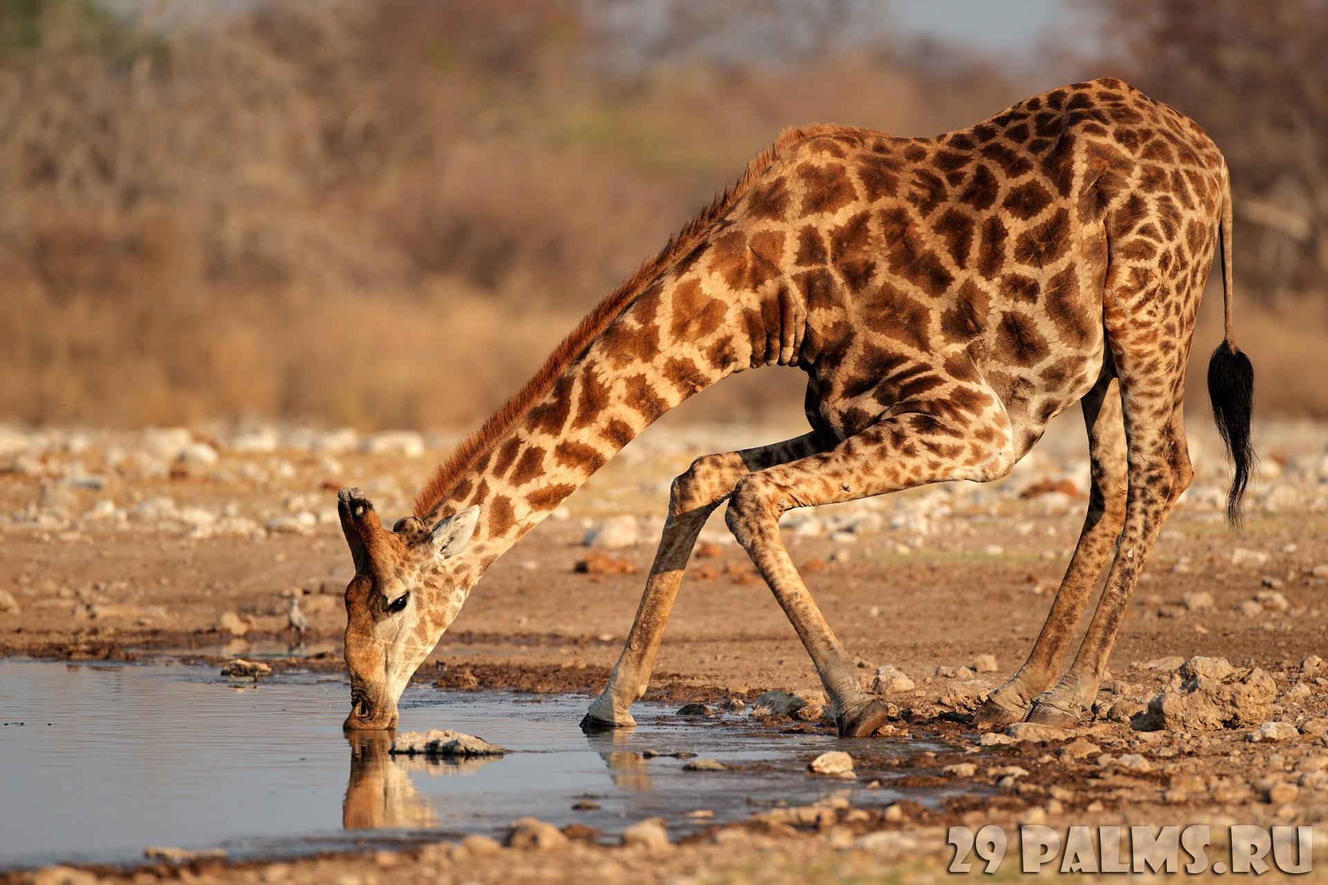 Как пьет жираф