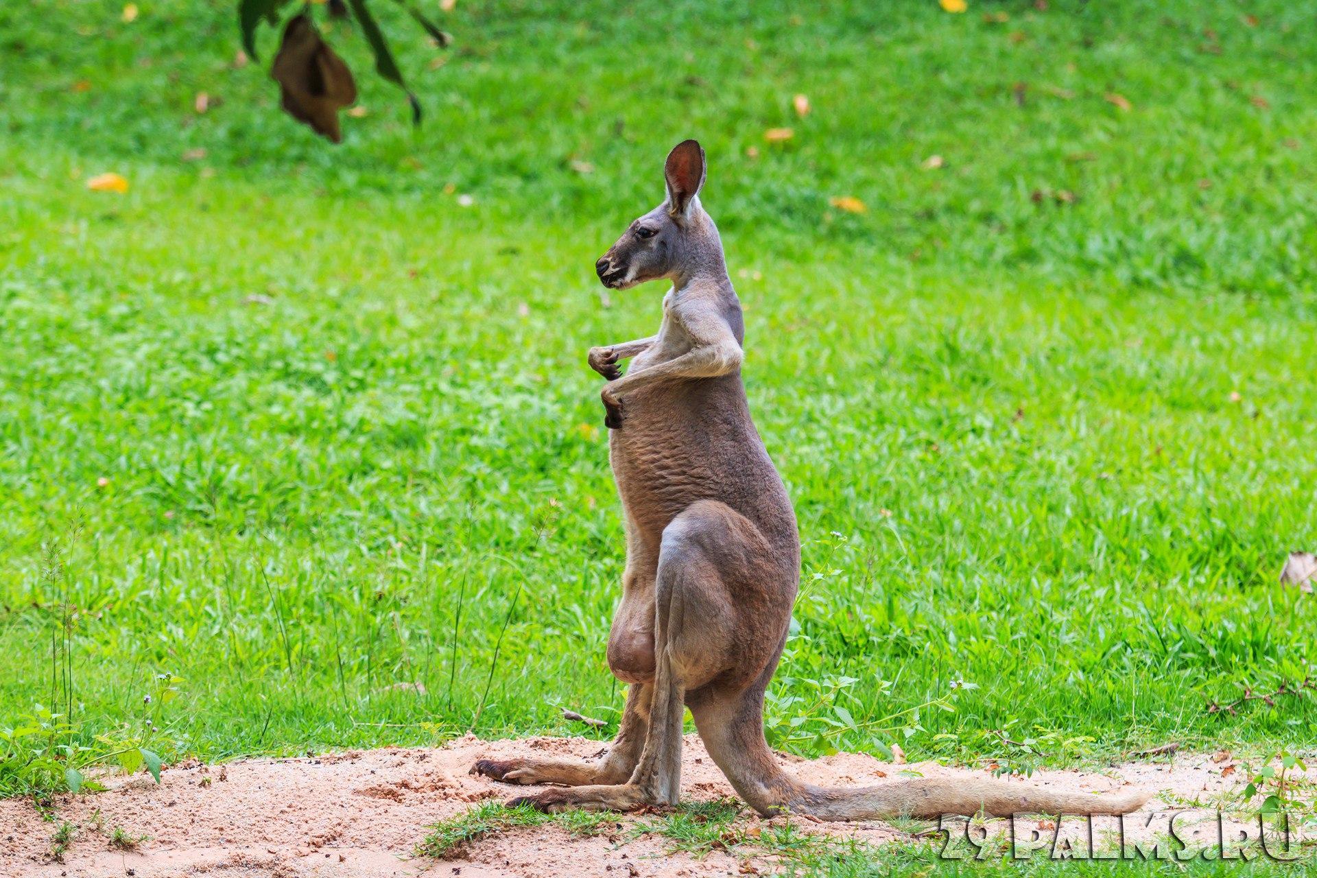 Секс с кенгуру онлайн, Кенгуру секс. Смотреть на сайте online 2 фотография