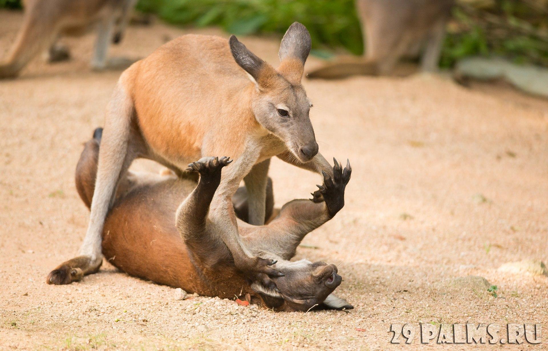Секс с кенгуру онлайн, Кенгуру секс. Смотреть на сайте online 3 фотография