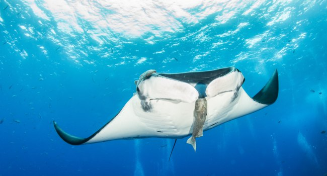 Блог Павла Аксенова. Манты (лат. Manta birostris). Manta Ray at Isla Revillagigedos, Mexico. Фото Divepics - Depositphotos