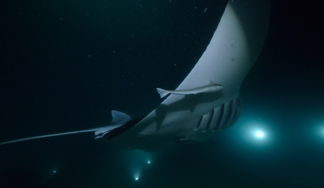 Блог Павла Аксенова. Манты (лат. Manta birostris). Manta Ray at Night diving. Фото divedog - Depositphotos
