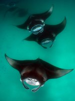 Блог Павла Аксенова. Манты (лат. Manta birostris). Manta Rays feeding in formation, Maldive. Фото dnurse27 - Depositphotos