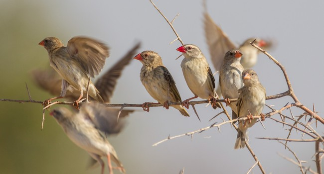 Блог Павла Аксенова.  Красноклювый ткач. Red-billed quelea in Etosha National Park, Namibia. Фото hkratky - Depositphotos
