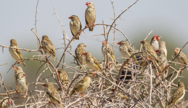Блог Павла Аксенова. Намибия. Blutschnabelweber (Red-billed quelea, Quelea quelea). Фото hkratky - Depositphotos