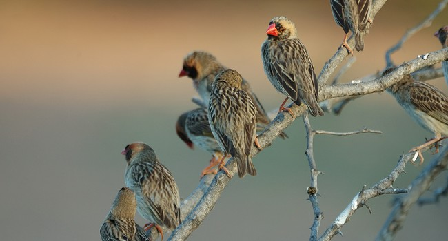 Блог Павла Аксенова. Красноклювый ткач (лат. Quelea quelea). Red-billed quelea. Фото willem - Depositphotos
