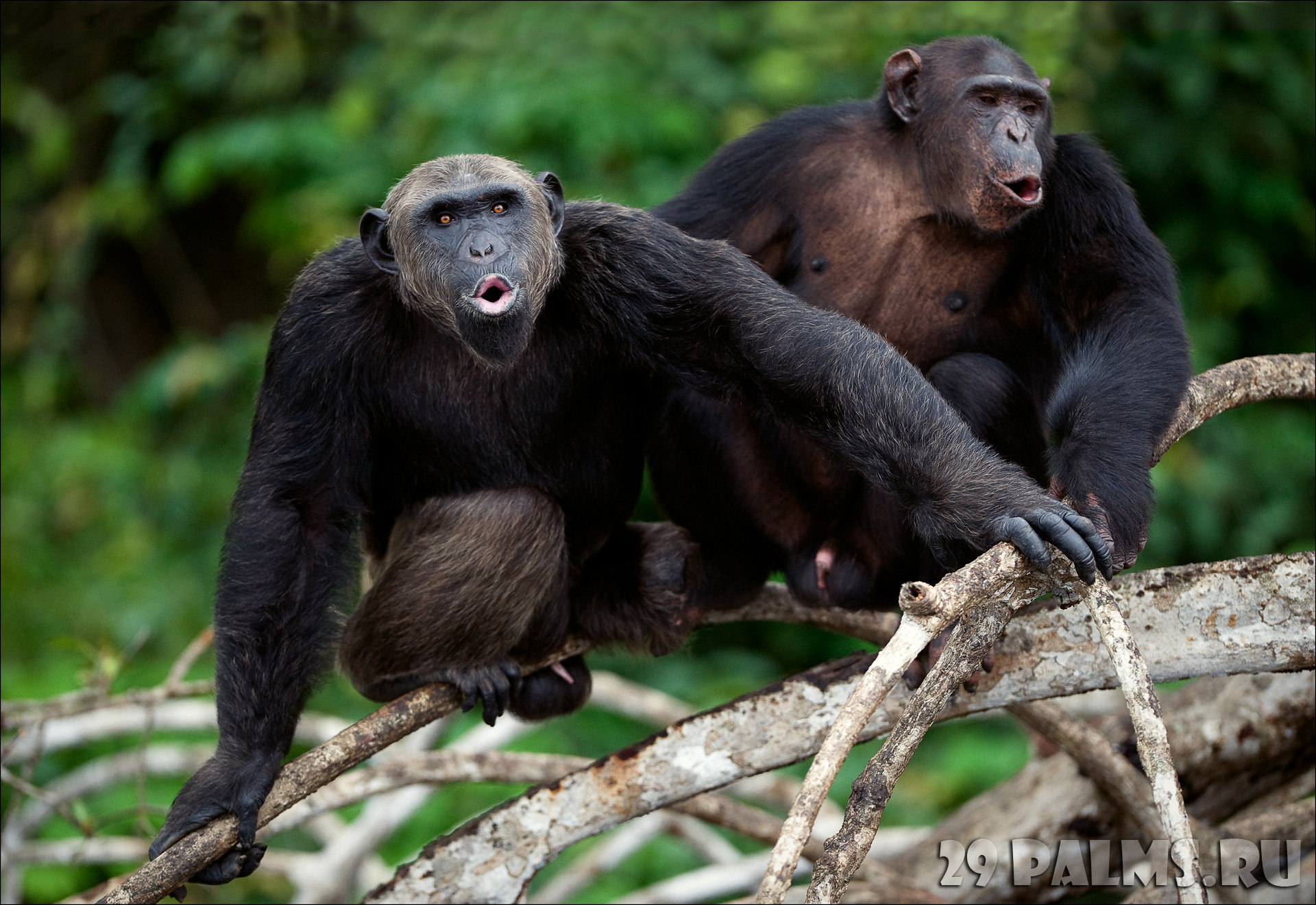 Бонобо особенности их сексуального поведения