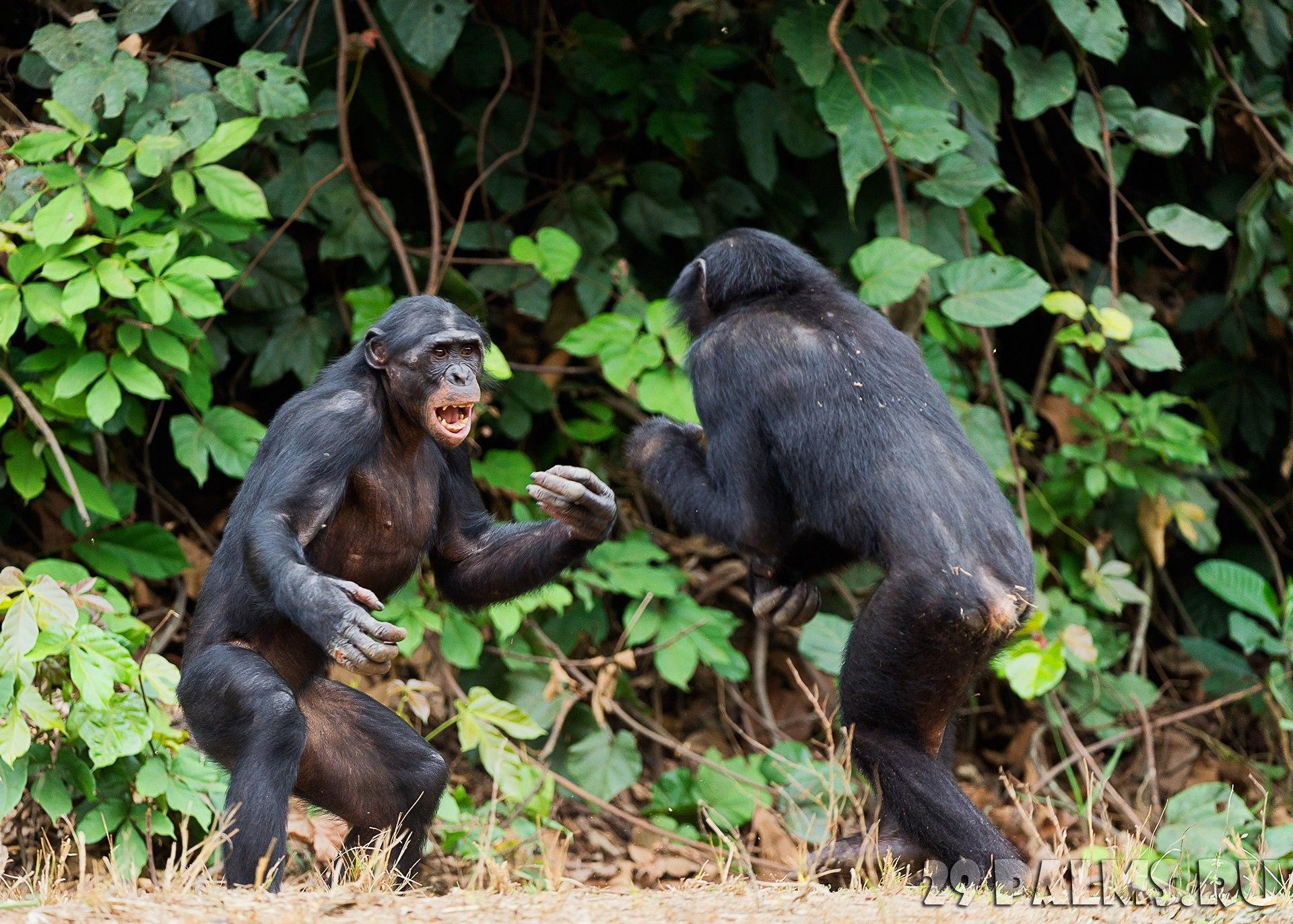 Primates apes sex aggression