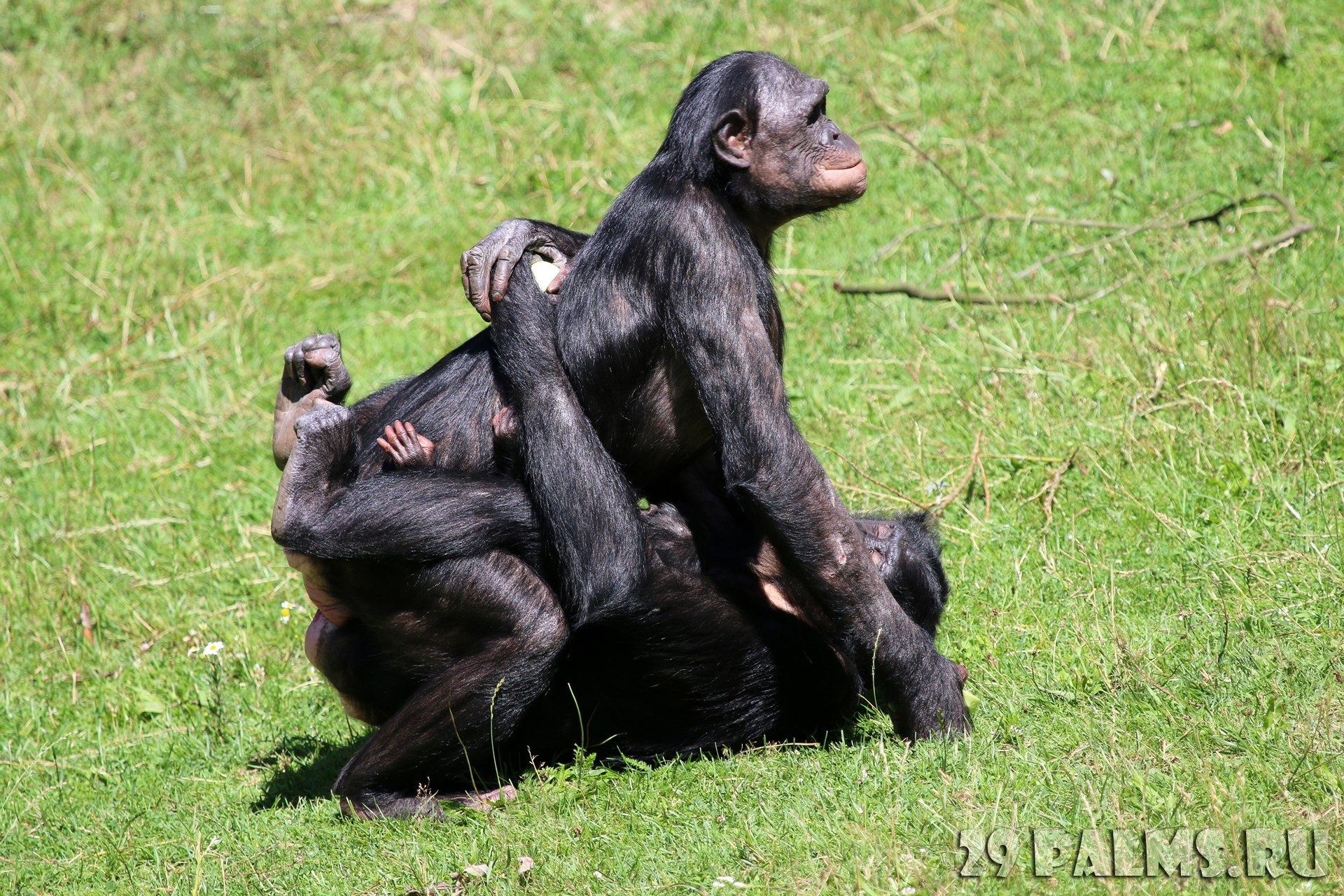 Секс шимпанзе deposit