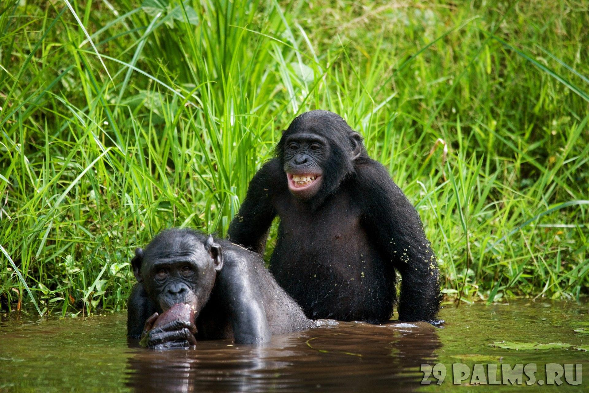 Порода обезьян которые занимаются сексом