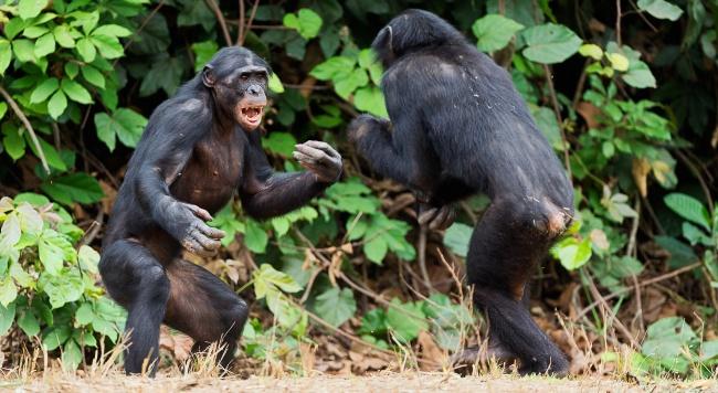 Сексуальные отношения приматов бонобо видео