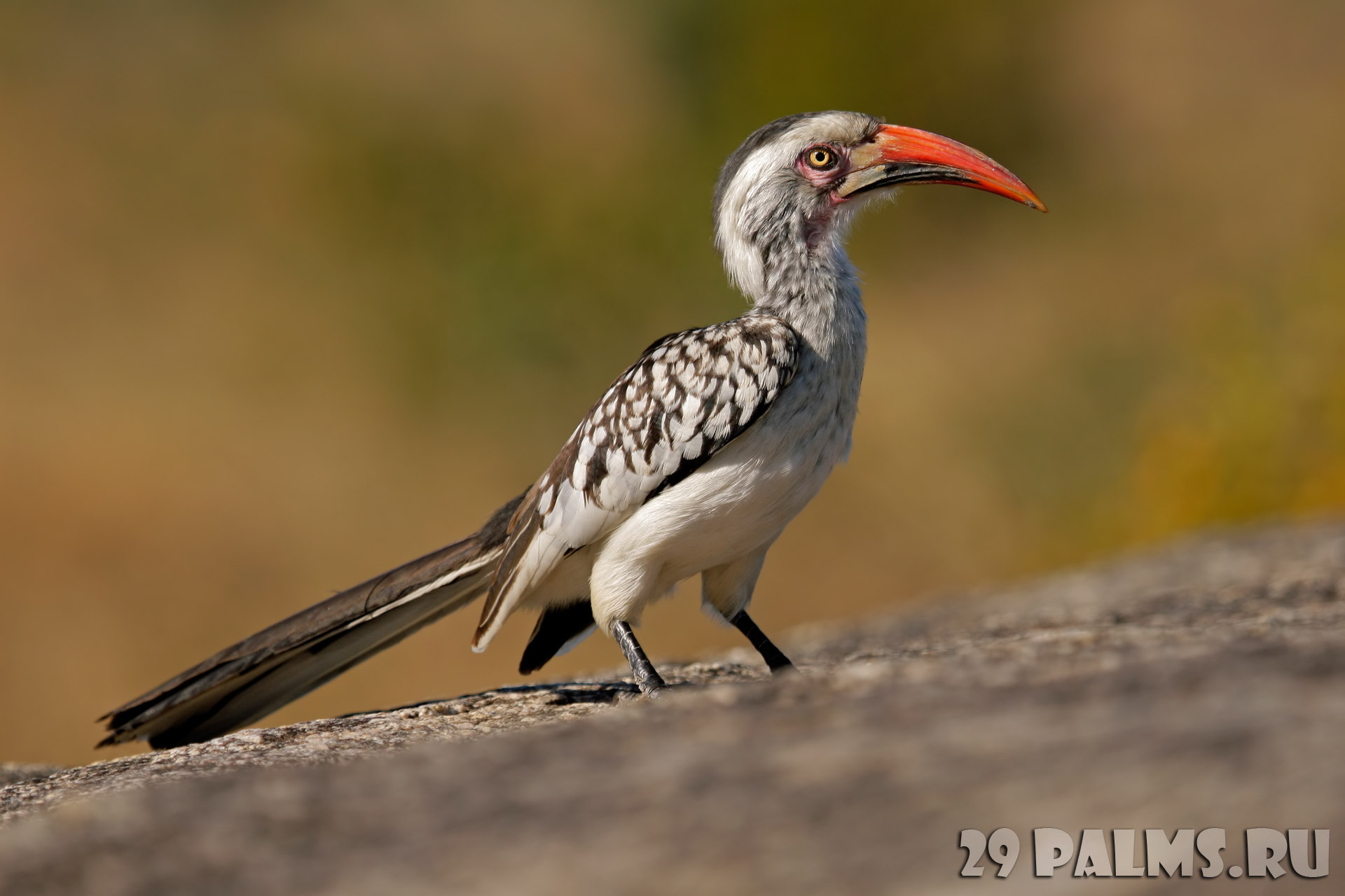 Блог Павла Аксенова. Красноклювый ток (или токо) (лат. Tockus erythrorhynchus, англ. Red billed hornbill). Фото EcoPic - Depositphotos