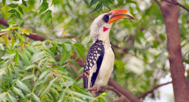 Блог Павла Аксенова. Красноклювый ток (или токо) (лат. Tockus erythrorhynchus, англ. Red billed hornbill). Фото blacklight_trace-Deposit