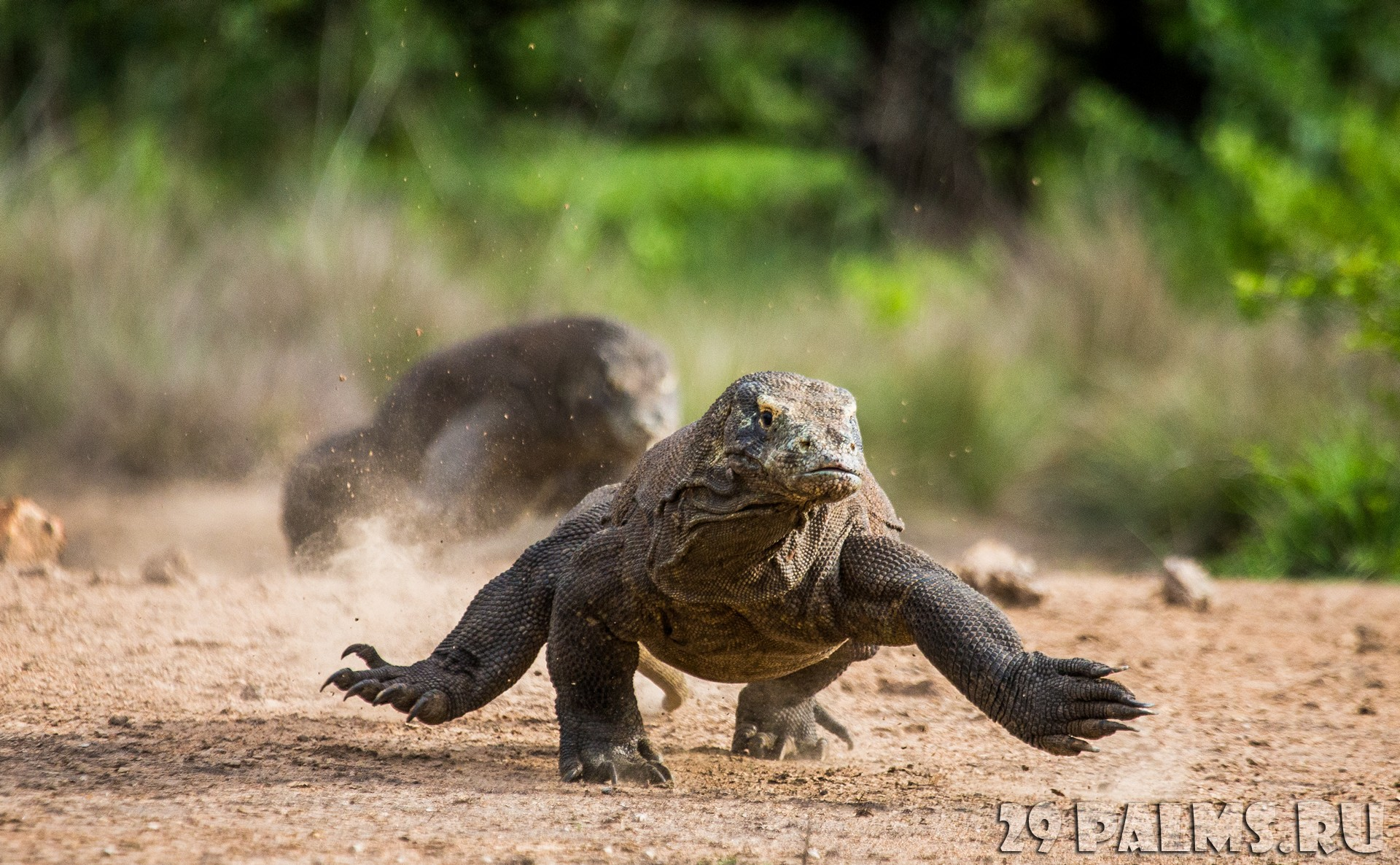 варан фото комодский