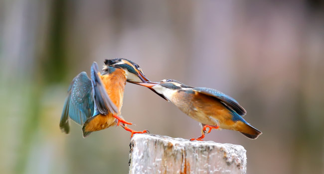 Обыкновенный зимородок (лат. Alcedo atthis). Two Common Kingfisher quarrel on a branch. Фото weradeposit - Depositphotos