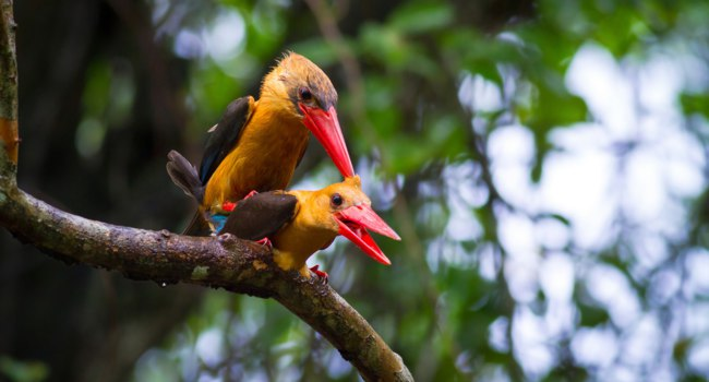 Семейство зимородковые (лат. Alcedinidae). Stork-billed Kingfisher and Brown-winged Kingfisher. Фото phiphatstockphoto - Depositphotos
