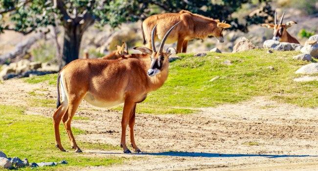Блог Павла Аксенова. Зоопарк Сан Диего (San Diego Zoo). Roaming Roan Antelope. Фото pngstudio - Depositphotos