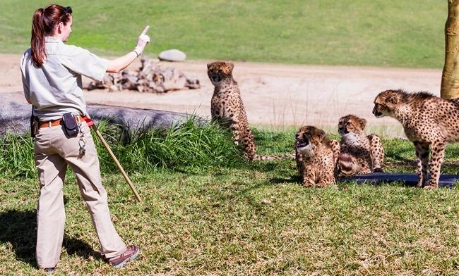 Блог Павла Аксенова. Зоопарк Сан Диего (San Diego Zoo). Cheetah - Acinonyx jubatus. San Diego Zoo. Фото wollertz - Depositphotos