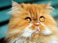 Кошки. Часть 1. Ксюша. Red persian cat in the soft focus. Фото Reanas - Depositphotos