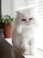 Кошки. Часть 1. Ксюша. White persian himalayan cat. Фото Stephane Durocher - Depositphotos