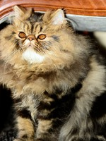 Кошки. Часть 1. Ксюша. Persian cat brown tabby. Фото Photoerick - Depositphotos