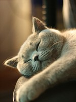 Кошки. Gray short hair British cat. Фото jiexaa - Depositphotos