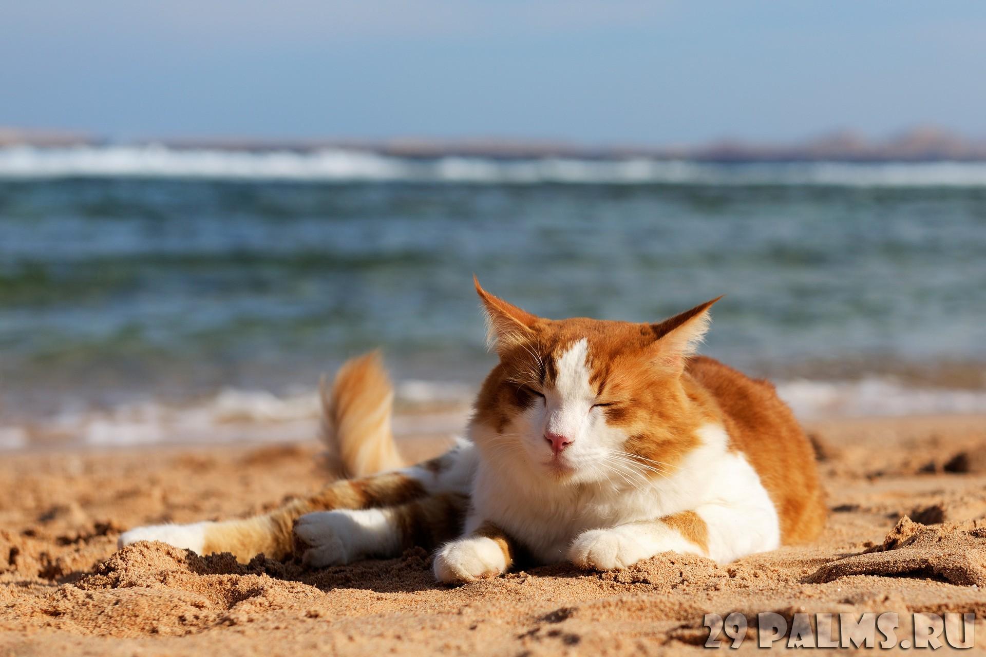 Кот загорает на пляже фото