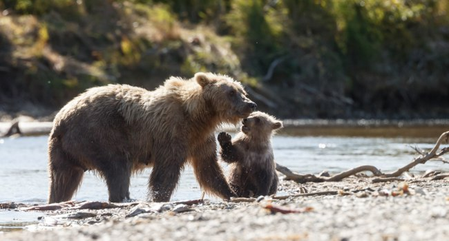 Блог Павла Аксенова. Brown bears at Katmai Alaska. Фото MennoSchaefer - Depositphotos