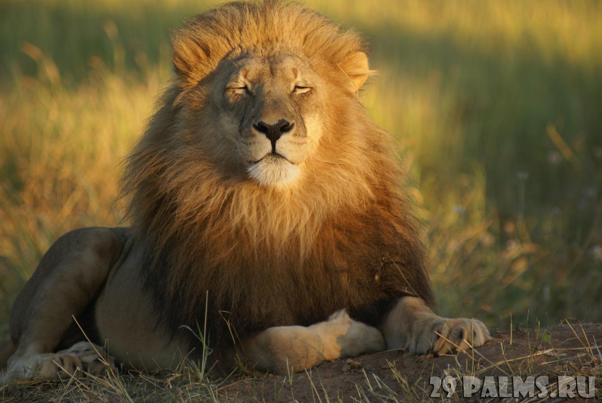 к чему снятся львы нападающие на людей