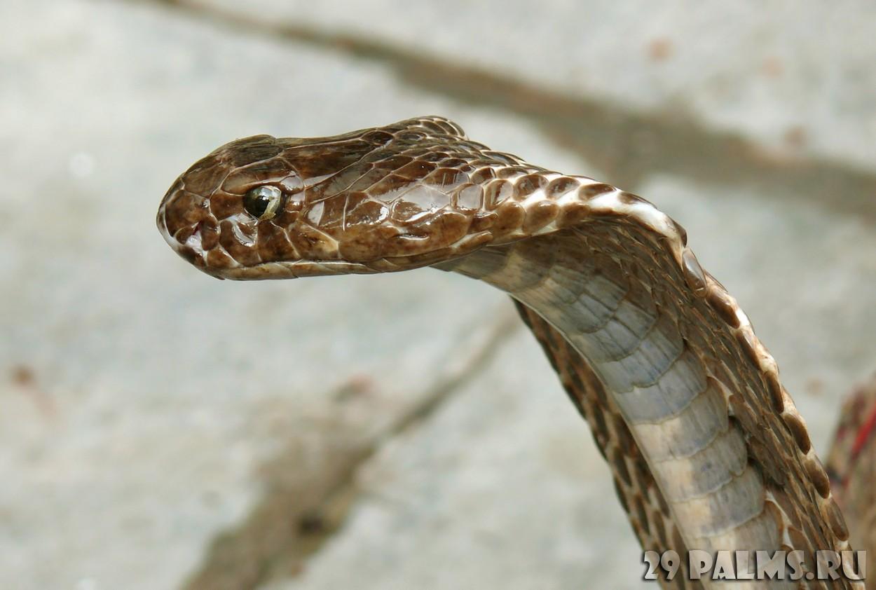 Фото кобра крупным планом 4 фотография