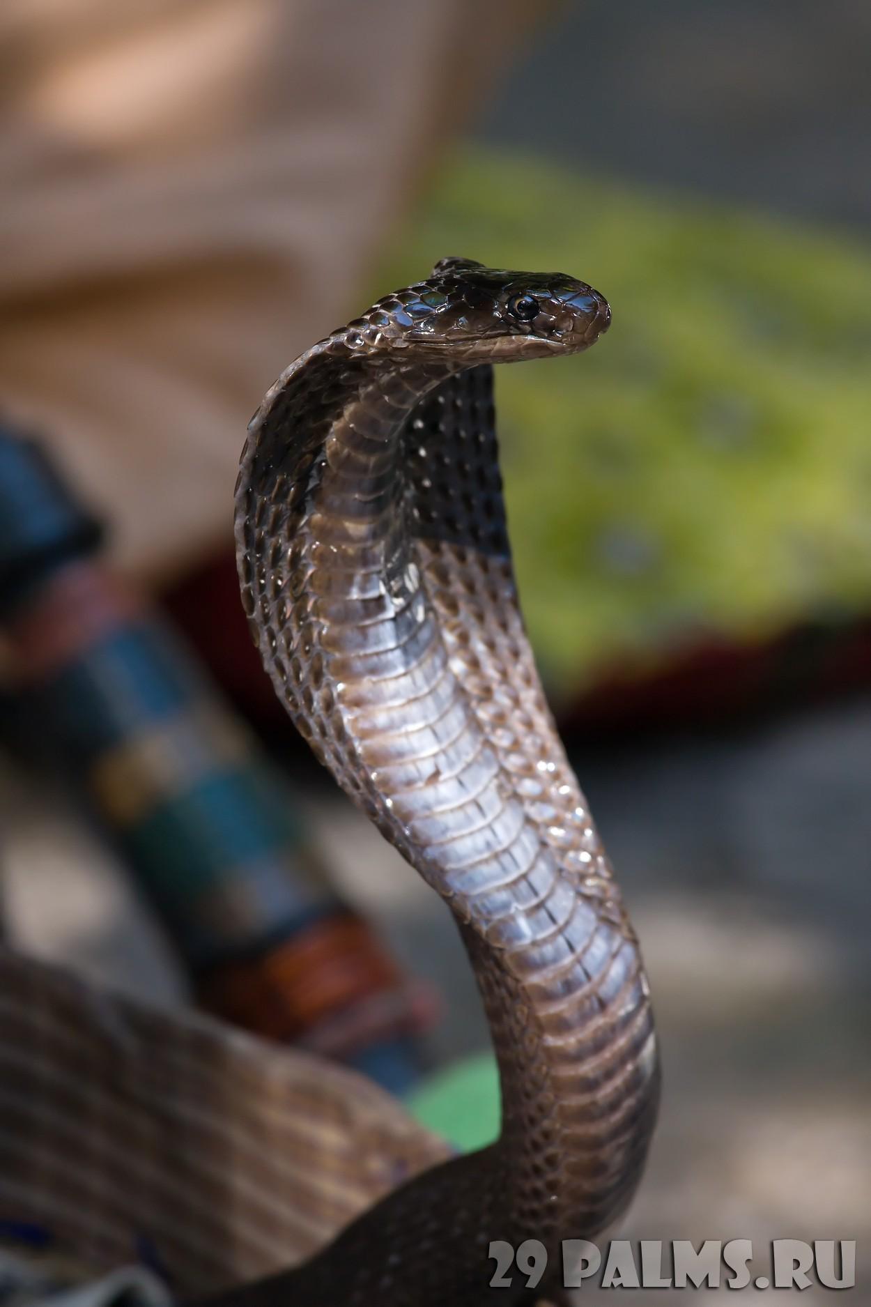 Фото кобра крупным планом 8 фотография